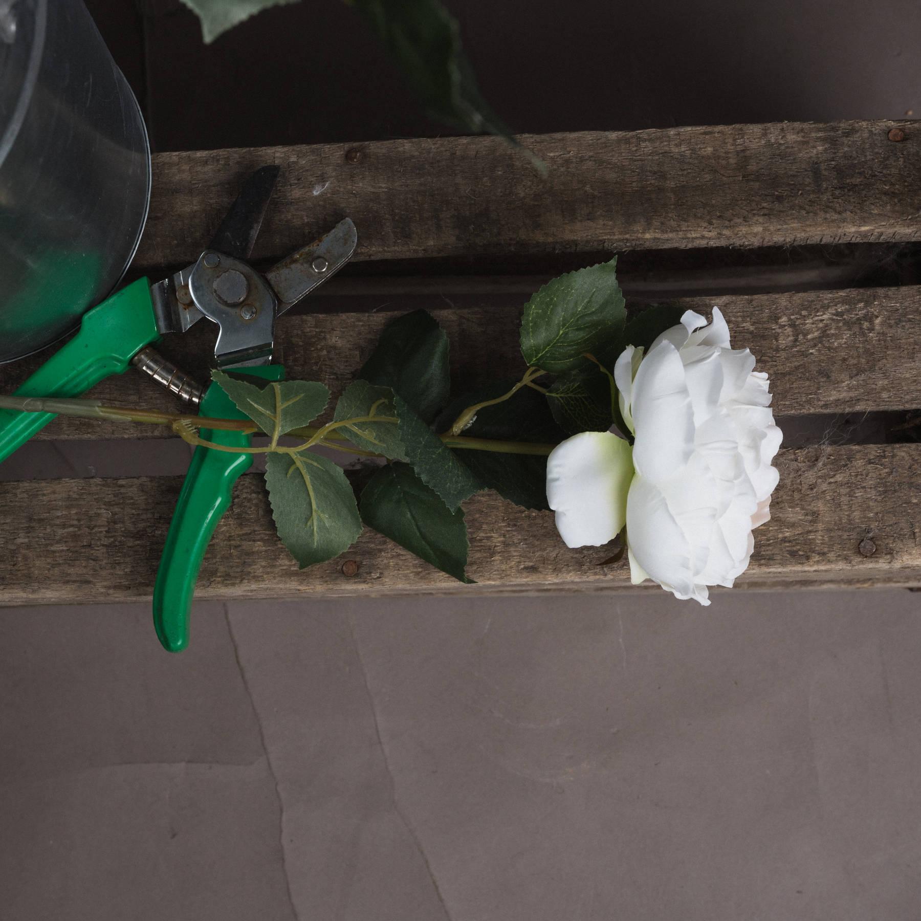 Blush Garden Rose - Image 2
