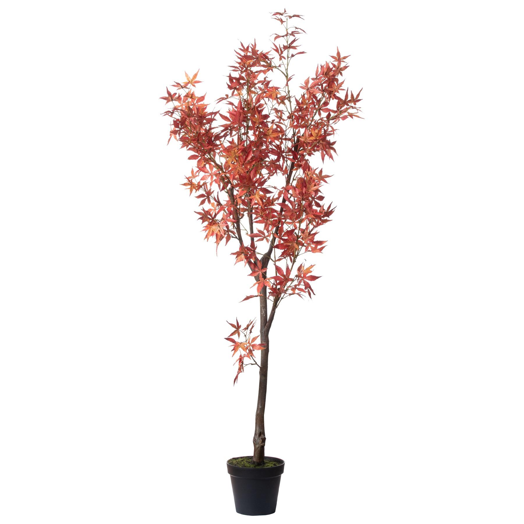 Large Acer Tree - Image 1