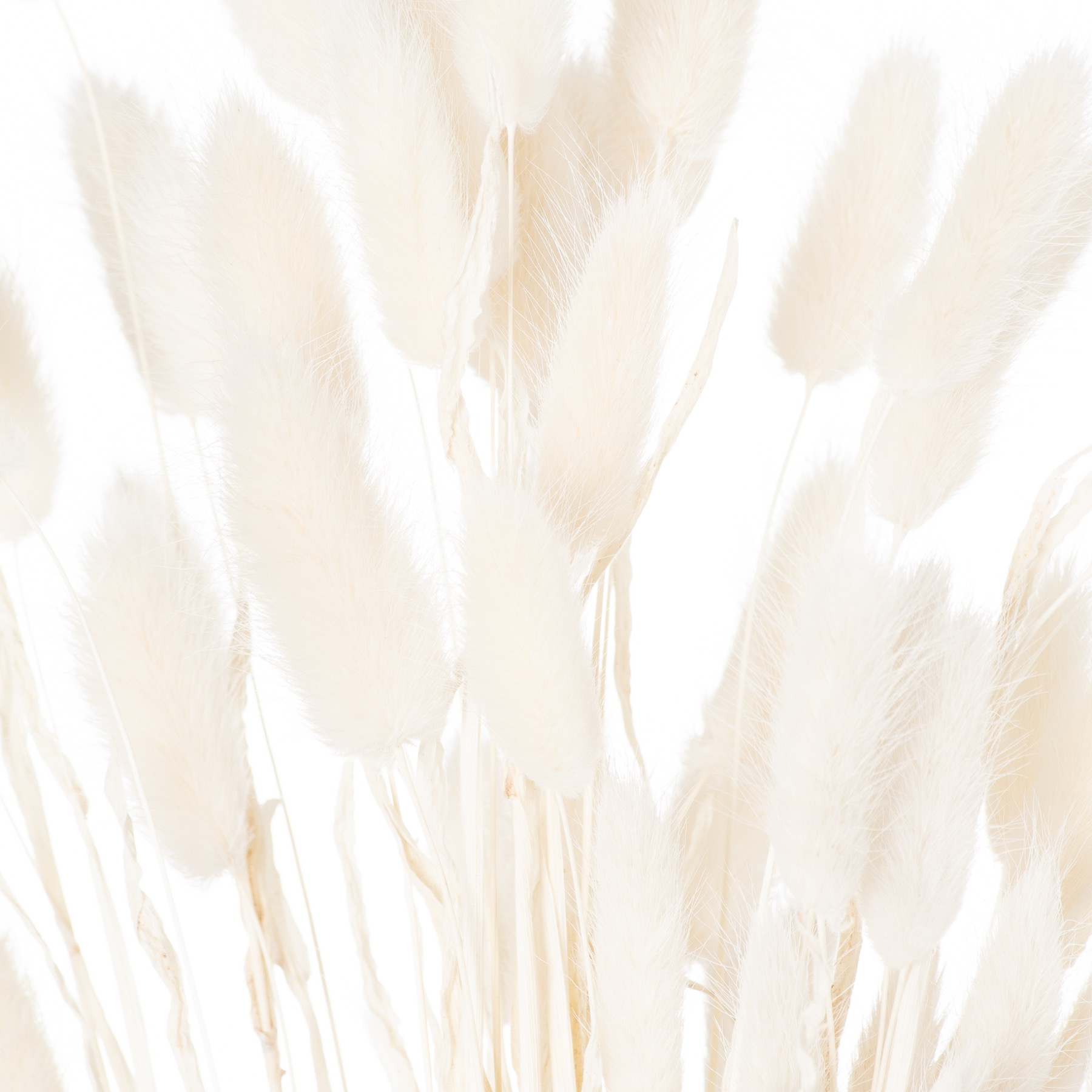 Dried White Bunny Tail Bunch Of 60 - Image 3
