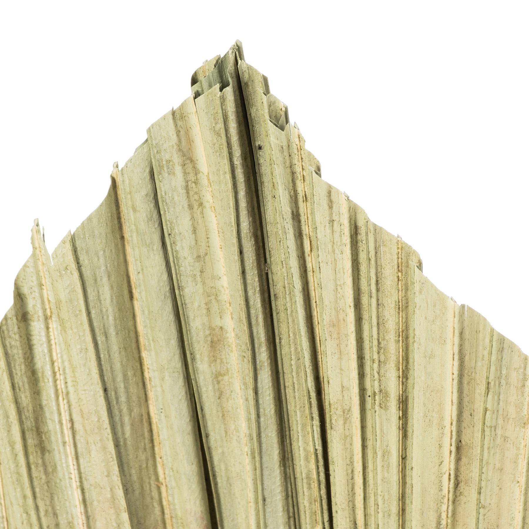 Dried Natural Fan Palm - Image 3