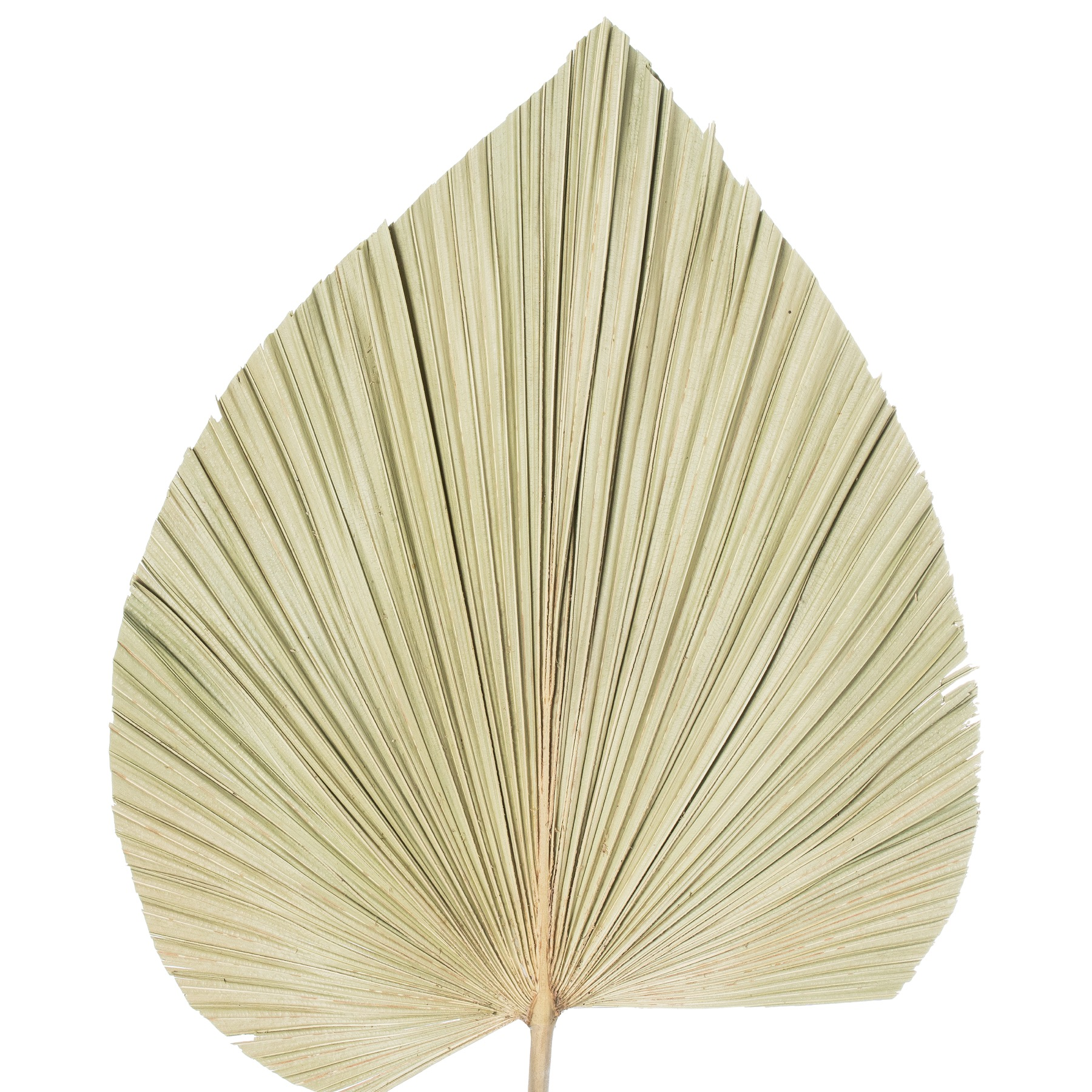 Dried Natural Fan Palm - Image 4