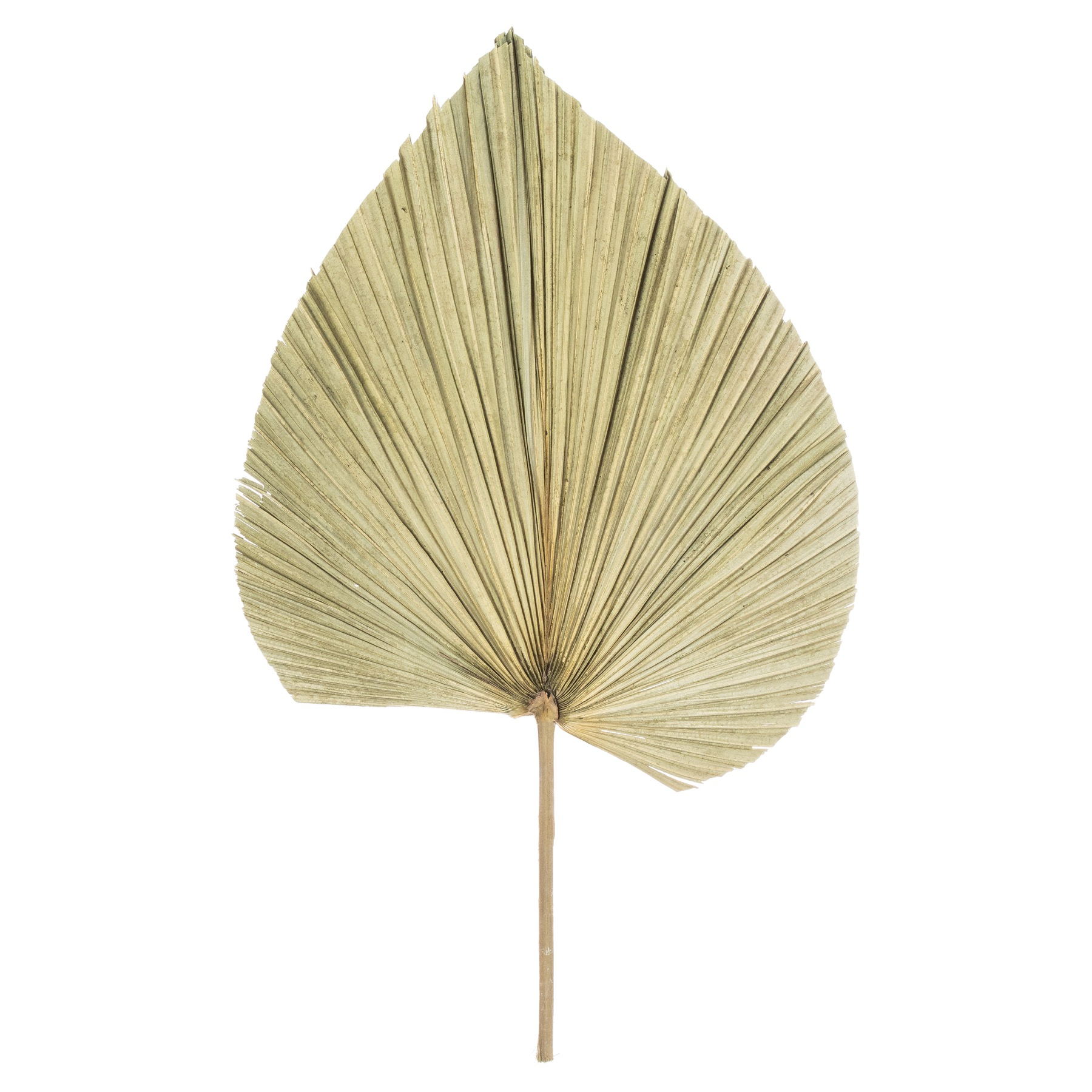 Dried Natural Fan Palm - Image 1