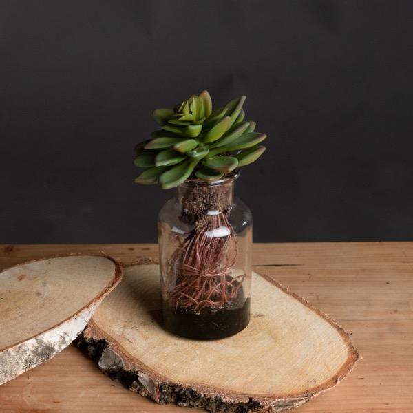 Medium Succulent With Roots