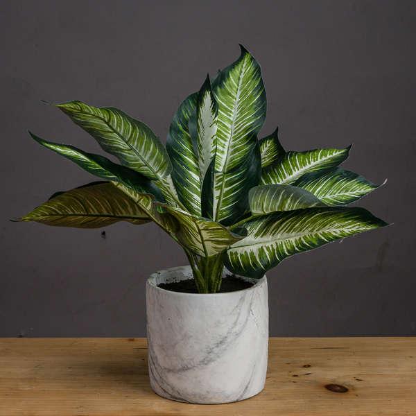Variegated Leaf Dieffenbachia House Plant
