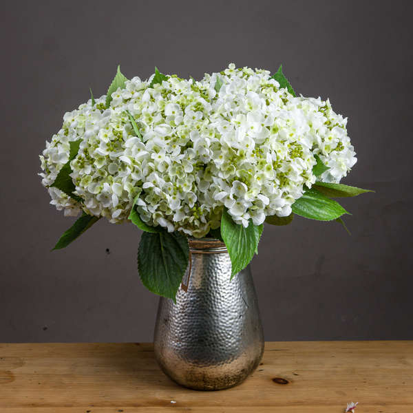 White Lace Cap Hydrangea