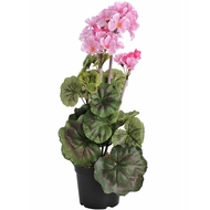 Pink  Geranium  In  Pot