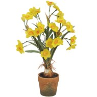 Yellow  Narcissus  In  Pot