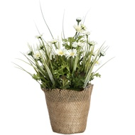 Spring daisy in hessian planter