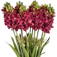 Burgundy Hyacinth stem