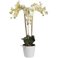 Prestige White Potted Orchid