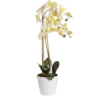 Eternity White Potted Orchid
