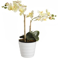 Opal White Potted Orchid