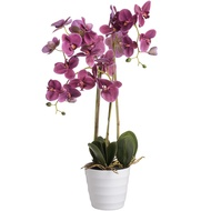 Prestige Purple Potted Orchid