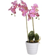 Eternity Pink  Burst Potted Orchid