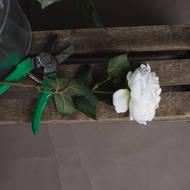 Blush Garden Rose - Thumb 2