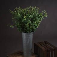 Long Stem Eucalyptus