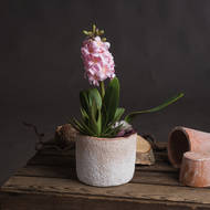 Potted Pink Hyacinth
