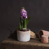 Potted Purple Hyacinth