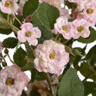 Pink Wild Meadow Rose - Thumb 5