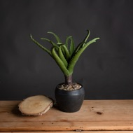 Potted Aloe Vera Plant
