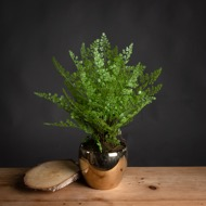 Boston Fern In Gold Pot