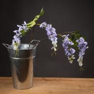 Lilac Wisteria