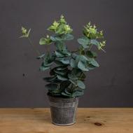 Eucalyptus In Tin Pot
