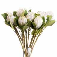 Closed White Protea