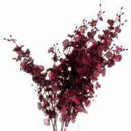 Deep Burgundy Orchid Spray
